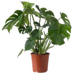 Monstera - plante en pot